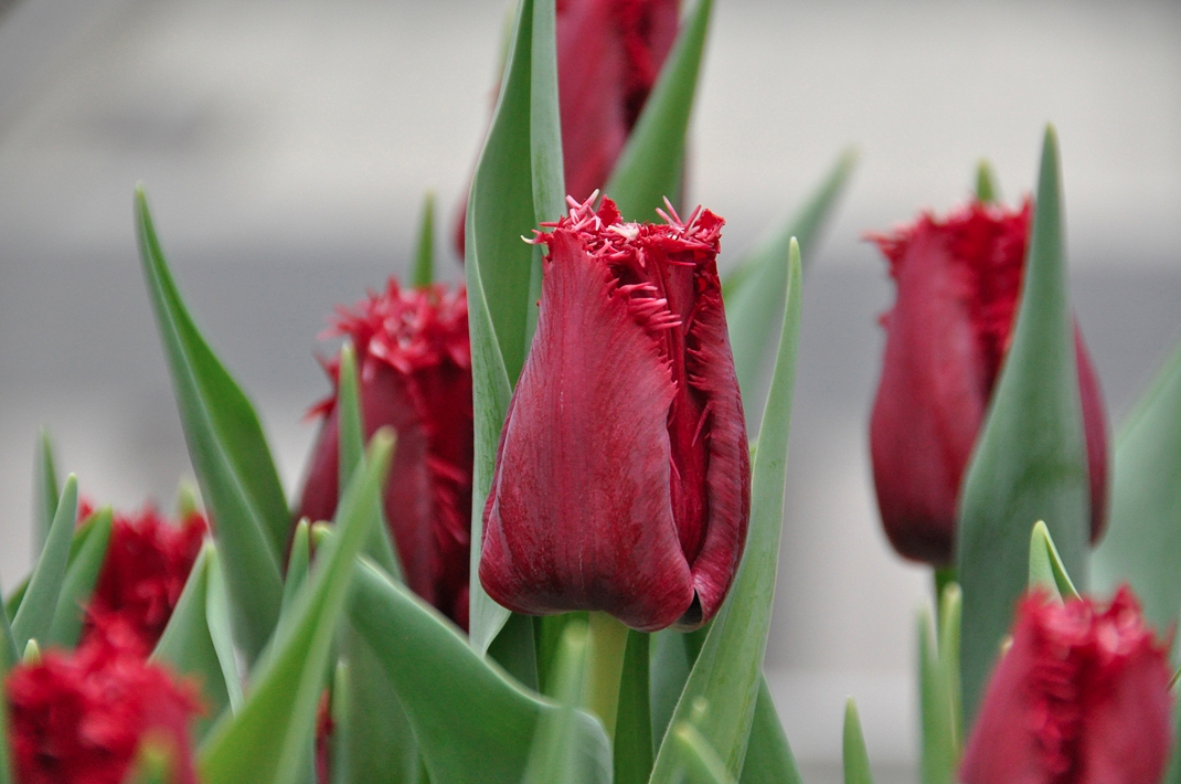 Tulp Philly Belle Remarkable