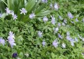 Hydrangea macrophylla 'Caipirinha' wint Hortensia Award 2017 -