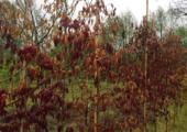 Doorbraak in financiering bomenonderzoek - klein-acer-palmatum-vorstschade-170x120