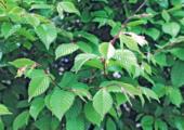 'Alles gaat vooruit met mechanisatie' - klein-carpinus-betulus-170x120