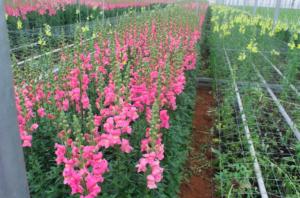 rosafloraleeuwenbek