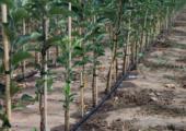 Topcertificering voor Nederlandse vruchtbomen in de maak - vruchtbomen-170x120