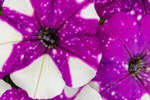 Constellation™ Petunia