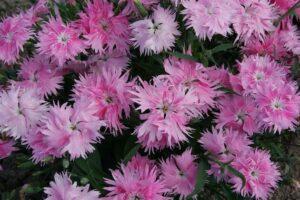 Dianthus SUPRA™ F1 Pink