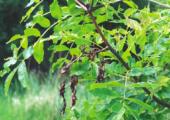 Meer Brits en meer bijen op Britse plantenbeurs - aantasting-chalara-170x120