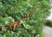 'Coniferenmarkt verbetert door divers sortiment' - bacterievuur-lltb-170x120