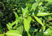 'Houdoe' - bladhoudende-prunus-170x120