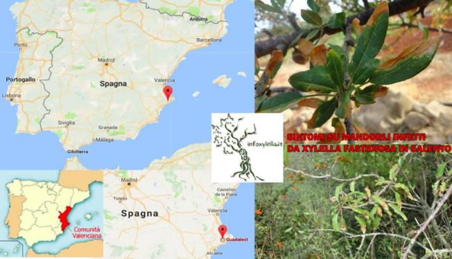 Xylella nu ook op Spaanse vasteland - xylella-almond-valencia-652x374