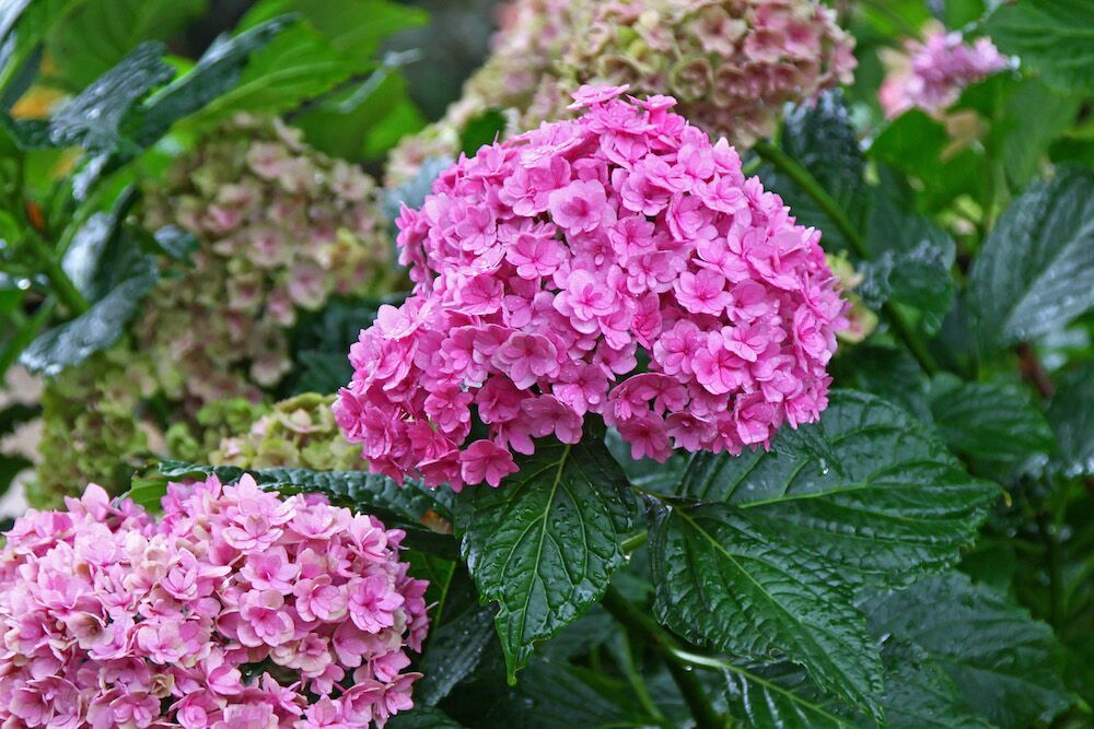 KVBC-Award voor Hydrangea macrophylla 'Youmefive' (YOU&ME TOGETHER) Foto: Plants & Pictures