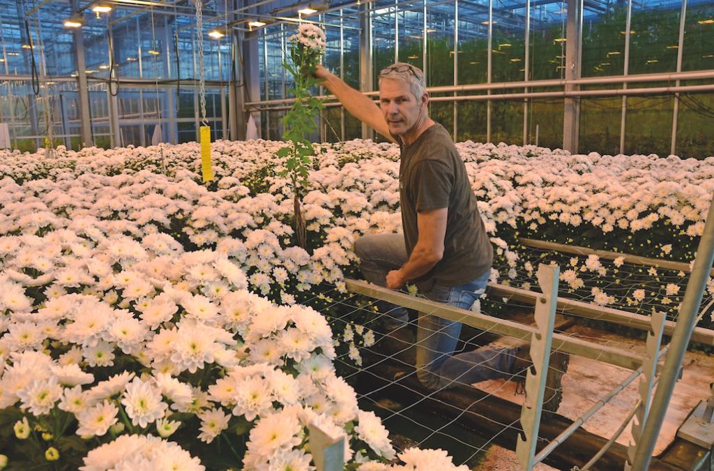 Hydroponically Grown Chrysanthemum Is A Real Alternative Hortipoint