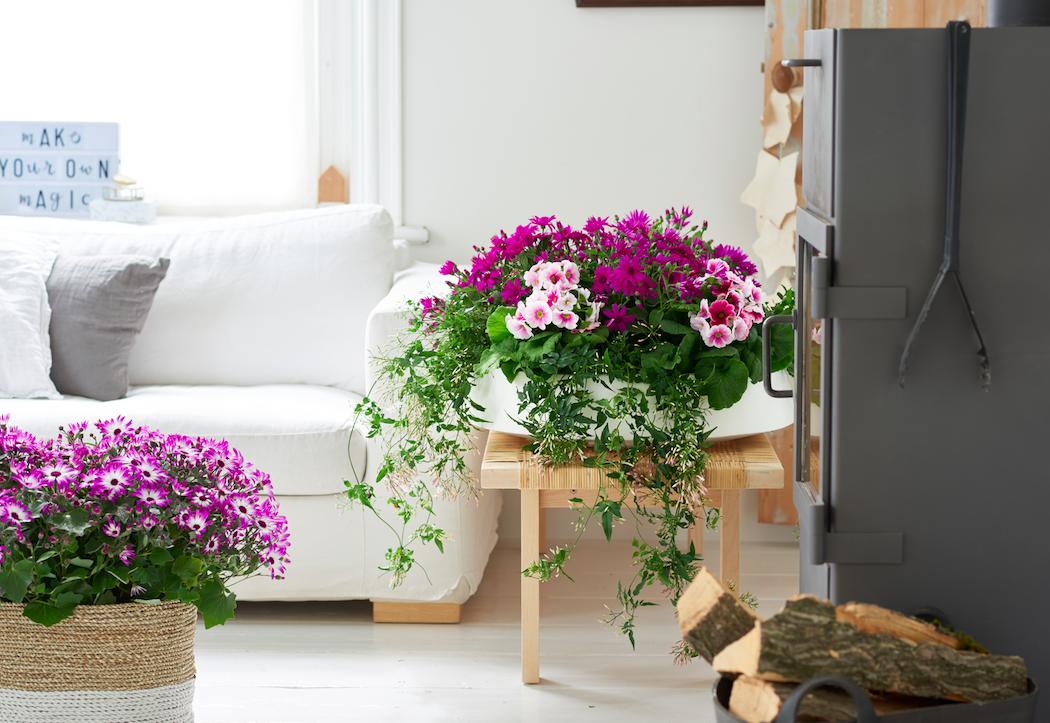 Kracht Planten Huis : Winterbloeiers woonplanten februari hortipoint