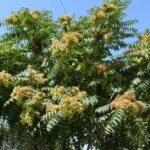 Ailanthus altissima mogelijk verboden