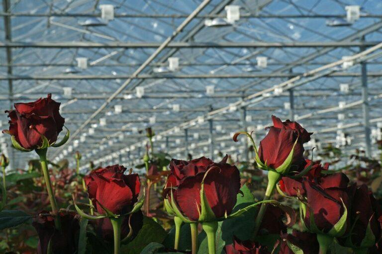 Nederlands areaal snijbloemen groeit voor het eerst deze eeuw