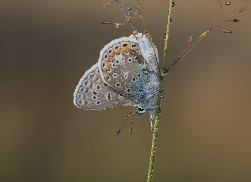 Icarusblauwtje - vlinder