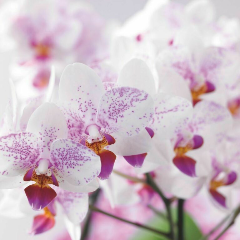 Phalaenopsis-crisis nu echt als structureel erkend