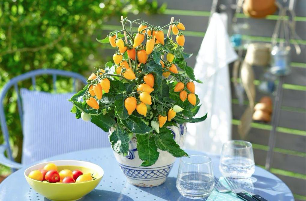 Plumbrella-tomaten zijn verkrijgbaar in vier kleuren: rood, oranje (foto), creme-geel en rose-pink.
