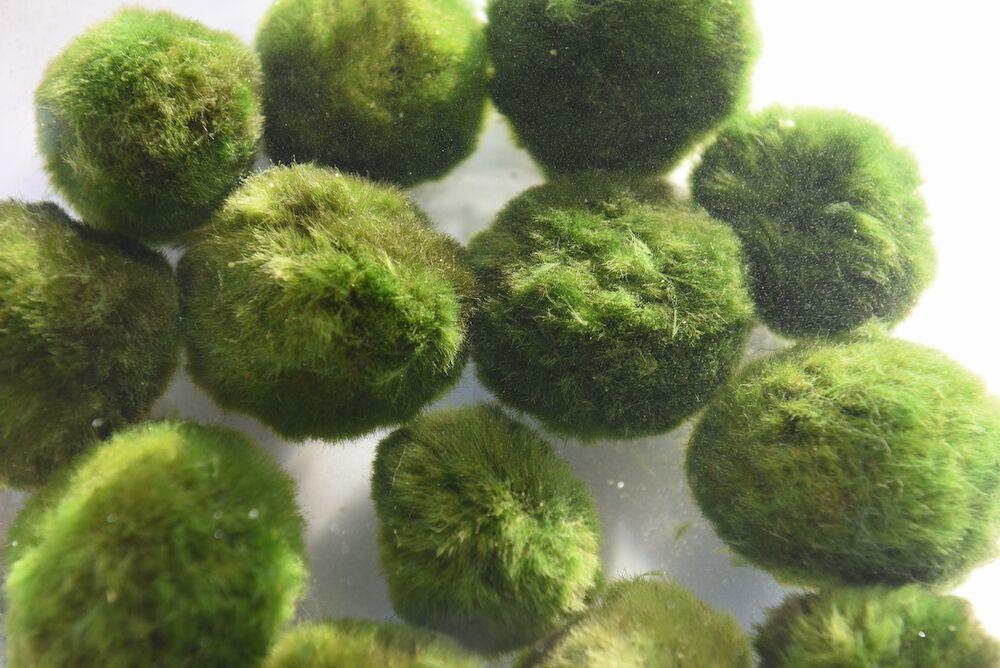 Van der Velde adviseert om per m3 water vijf mosballen toe te passen.
