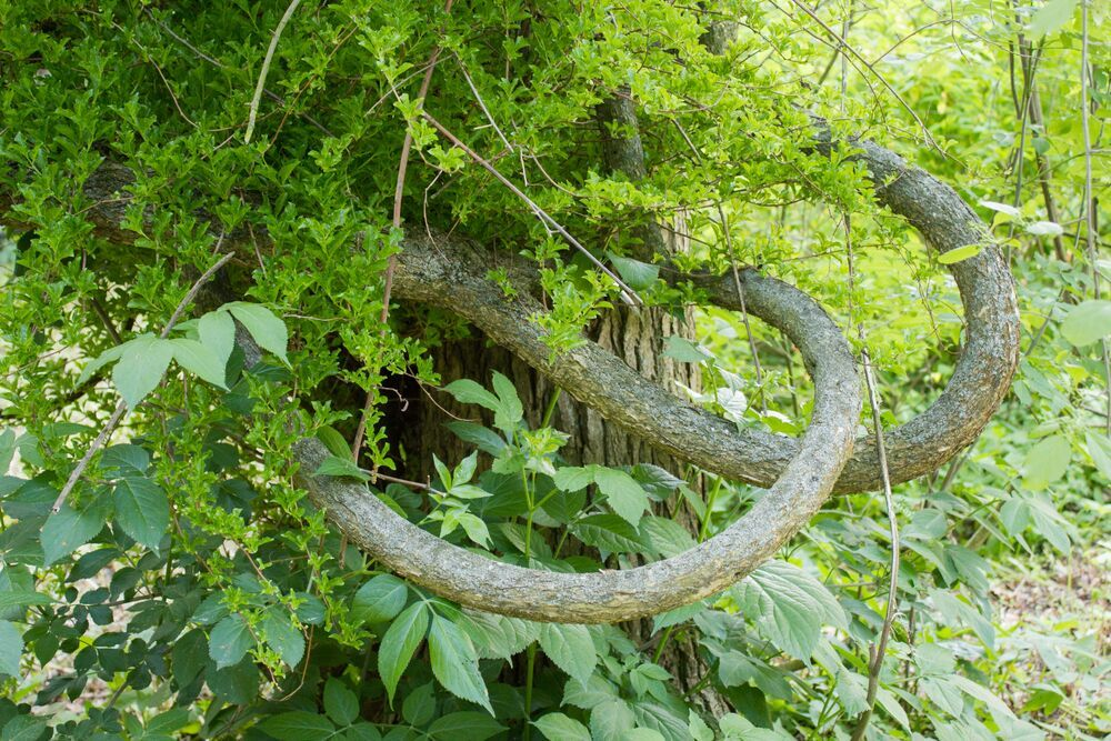 De boomwurger Celastrus orbiculatus is een houtige klimplant.