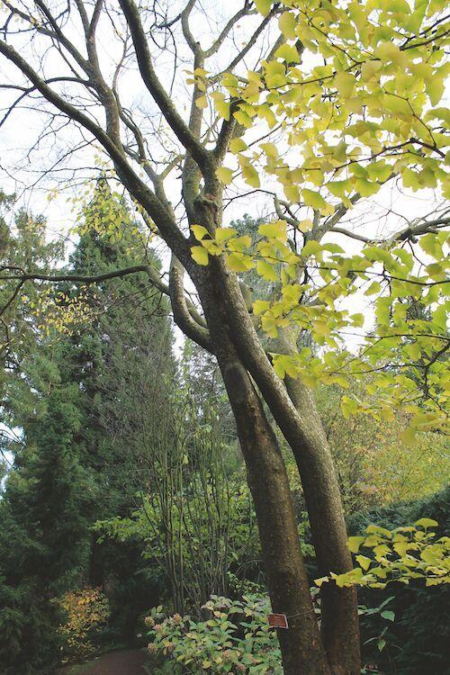 Botanische tuin Kerkrade - hebei-iep