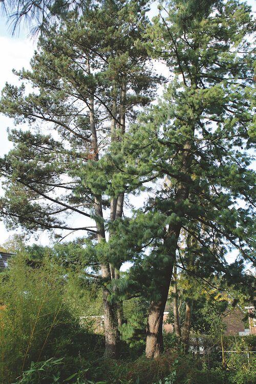 Botanische tuin Kerkrade Pinus