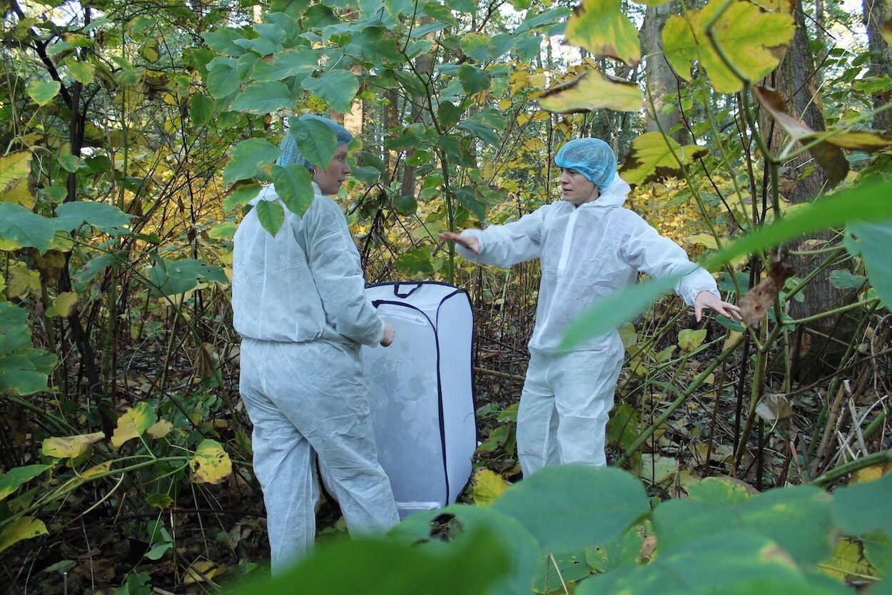 Uitzetten bladvlooien tegen Japanse duizendknoop