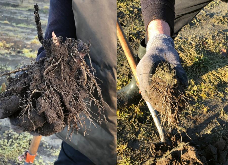 Links behandelde en rechts onbehandelde wortels van Paeonia 'Kansas' in het kader van het POP3-project 'Duurzame teelt, gezonde producten', mede gefinancierd door de Provincie Limburg en de Europese Unie. (foto: Hans Smeets)