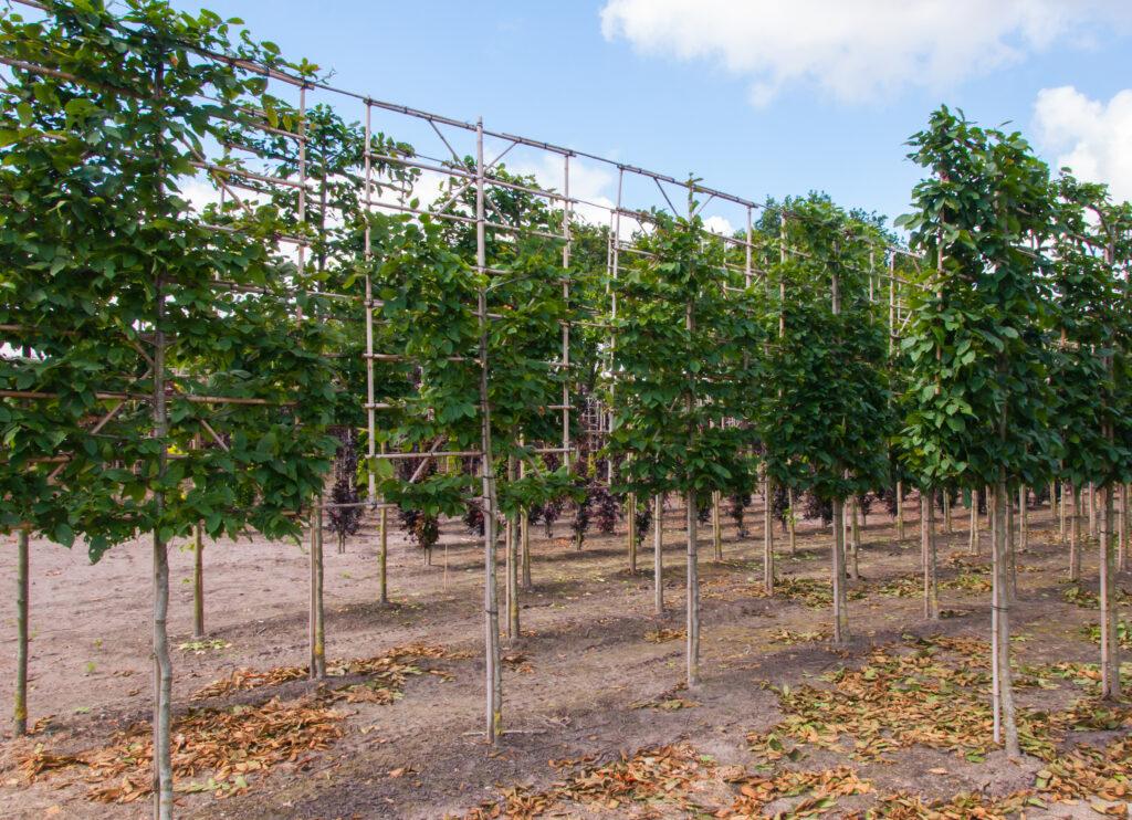 leibomen op boomkwekerij