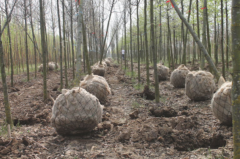 Met lintjes gemerkte en gerooide laanbomen