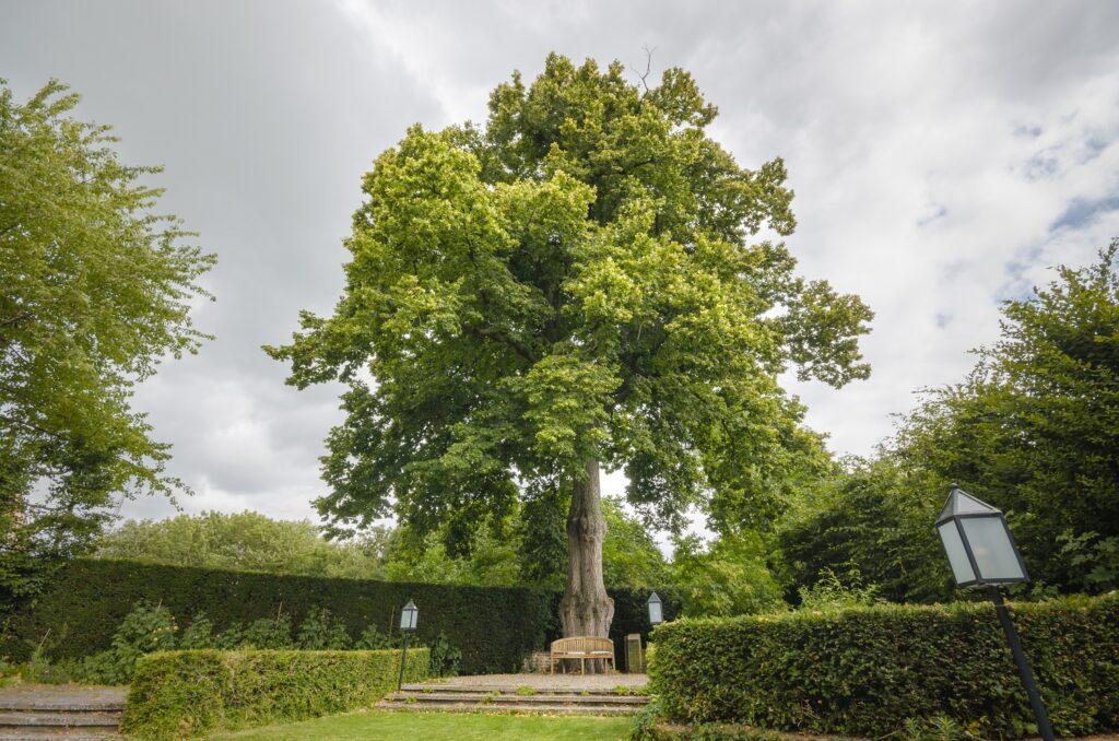 De Limburgse kandidaat voor de titel boom van het jaar 2021